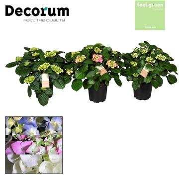 Hydrangea gemengd 10 flowers  (2-3 kleuren)  (Decorum)