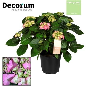 Hydrangea Pink 10 flowers (Decorum)