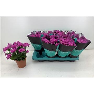 Chrysanthemum Chrysanne® 'Margarita Rose'Decorum R