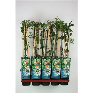 Passiflora caerulea C2