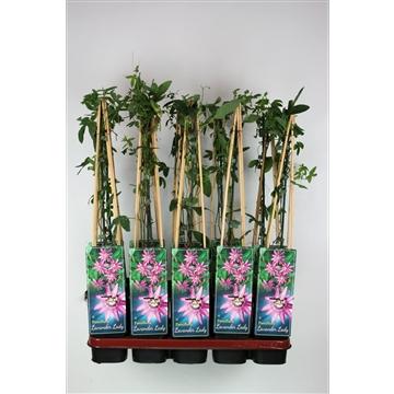 Passiflora 'Lavender Lady' C2