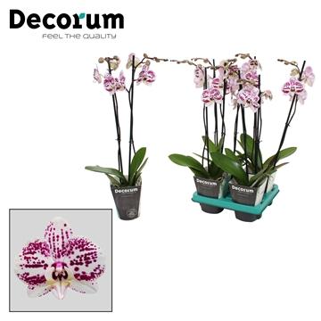 Phalaenopsis 2-Tak Decoration 60 cm