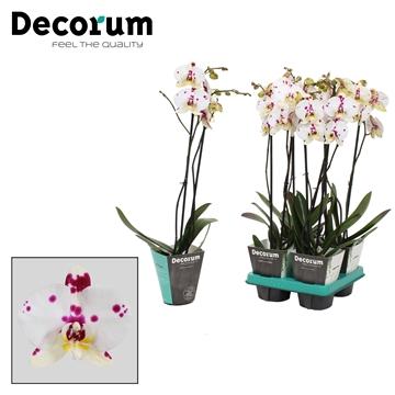 Phalaenopsis 2-tak Kellion 60cm