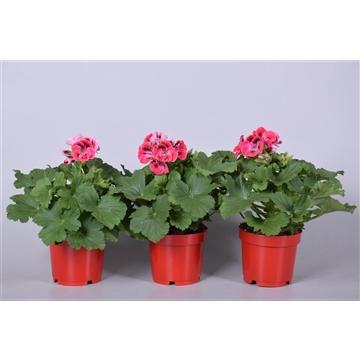 Pelargonium Grandiflorum overig rood (stadium 3/4)