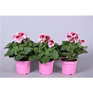 Pelargonium Grandiflorum overig roze (stadium 3/4)