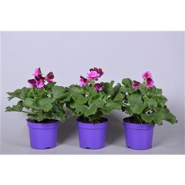 Pelargonium Grandiflorum overig paars (stadium 3/4)