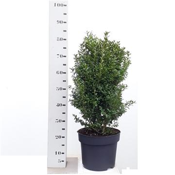 Buxus sempervirens 60-70cm struik