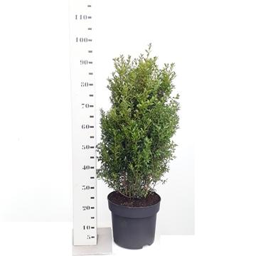 Buxus sempervirens 60-80cm struik