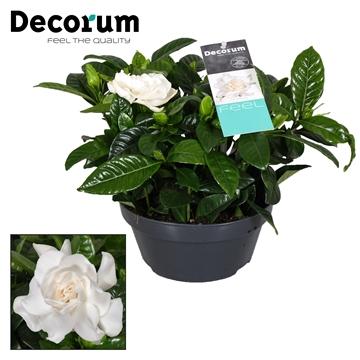 Gardenia Schaal 17 Cm