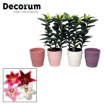 Lilium Oriental Mix 3pp keramiek BLUSH
