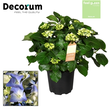Hydrangea Blue 10 flowers (Decorum)
