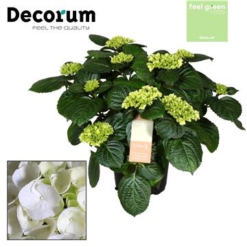 Hydrangea White 10 flowers (Decorum)