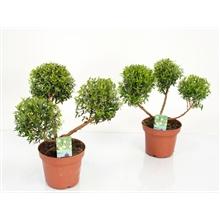 Artikel #87542 (myrt12pon: Myrtus communis pon pon)