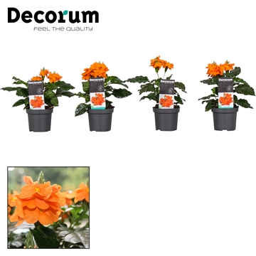 Crossandra Fortuna 9 cm + sticker