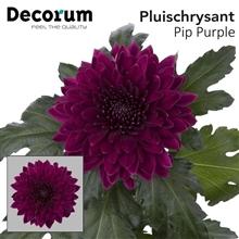 Artikel #402432 (Pip Purple 99: CHR G PIP PURPLE Decorum)