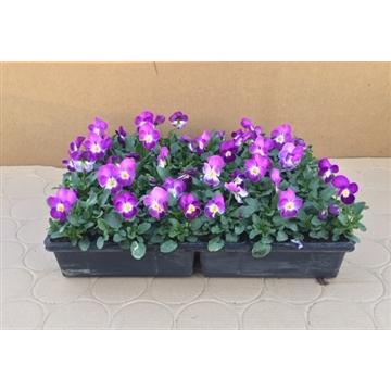 Viool cornuta licht paars viola