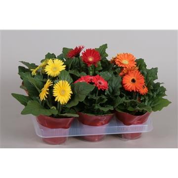 Gerbera Belicht  2+Bl 12cm in rode floracup