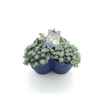 Sedum spath. Purpureum TRIO