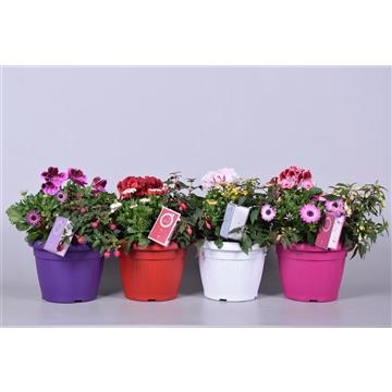MoreLIPS® Spring trio in patiopot