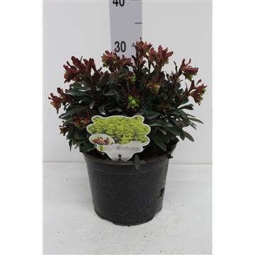 Euphorbia amyg. 'Purpurea'