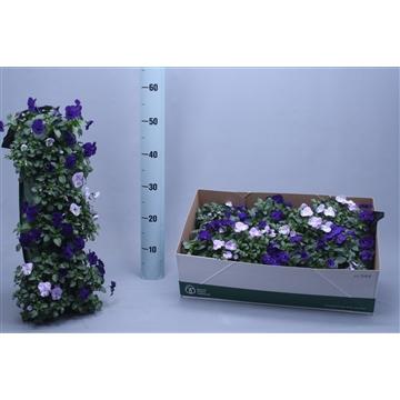 wandhanger viola cornuta lavendel donkerblauw