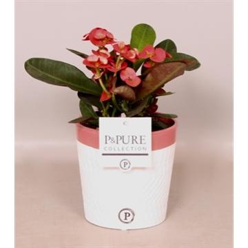 Euphorbia Miliiana Rosso in Valerie