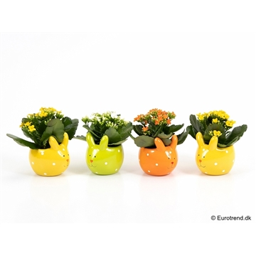 Kalanchoe in Easter ceramic