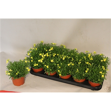 erysimum Citroen Yellow