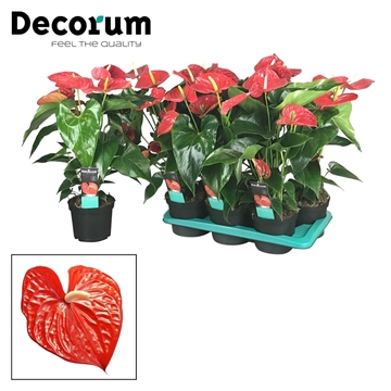 Anthurium Michigan pot 17 zonder hoes