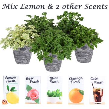Scent geranium Fresh mix 3 + Scents + robuuste pot
