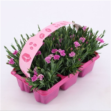 Dianthus Pink Kisses 6-pack