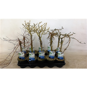 Salix mix stam 30 2e sortering