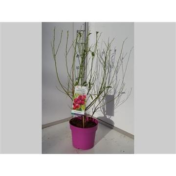 Vaccinium Pink Lemonade®  60cm C5