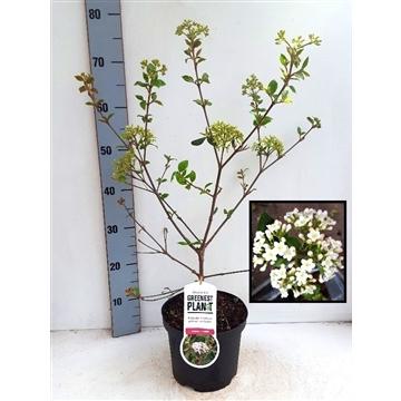 Viburnum burkwoodii - VOL KNOP !! (Potkweek)