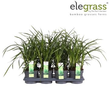 Carex Irish Green