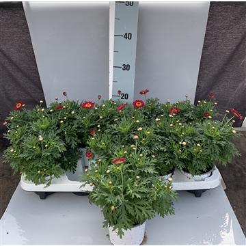 Argyranthemum frutescens rot Ab Hof/D