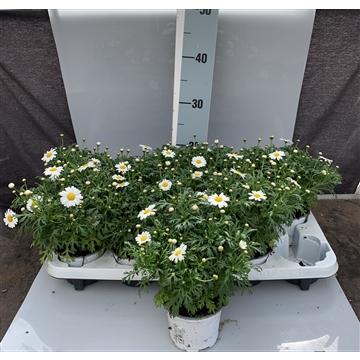 Argyranthemum frutescens weiß Ab Hof/D