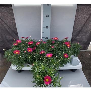 Argyranthemum frutescens magenta Ab Hof/D