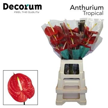 ANTH A TROPICAL 30 XL Decorum