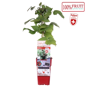 Rubus Low.® Little Sweet Sister® - Lubera (improved Little Red Princess)