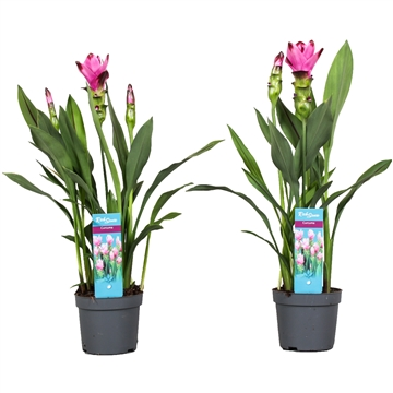 2 flower + Curcuma  Siam Splash 13 cm
