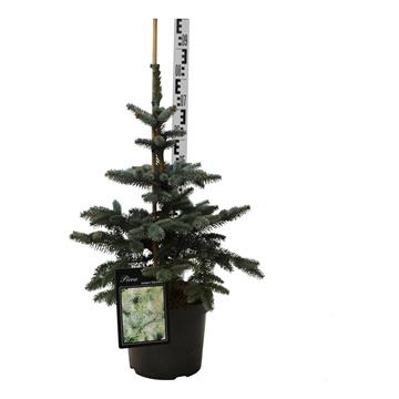 Picea pung. 'oldenburg'