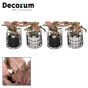 Syngonium Neon Robusta 7 cm in pot Dani (Decorum)