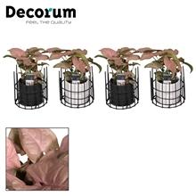 Syngonium Neon Robusta 7 cm in pot Dani (Decorum)