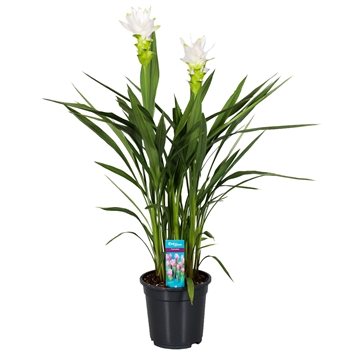 Curcuma Siam Shine (white) 2 flower