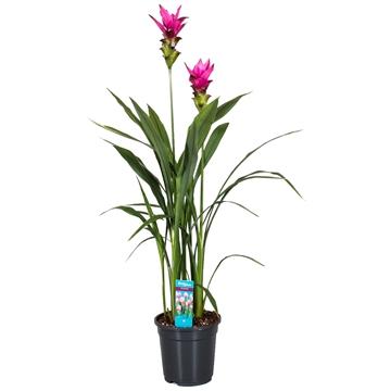 Curcuma Siam Soul 2 flower