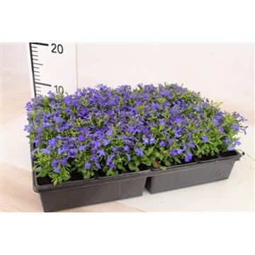 Lobelia blauw / Lobelia erinus blue 24gaats