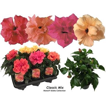 Hibiscus Hawaii® Aloha Doubleflower 3-5 tak