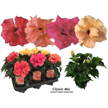 Hibiscus Hawaii® Aloha Doubleflower 2-2,5tak