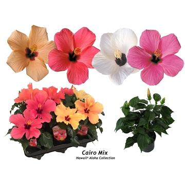 Hibiscus Hawaii® Aloha Singleflower 2-2+Tak